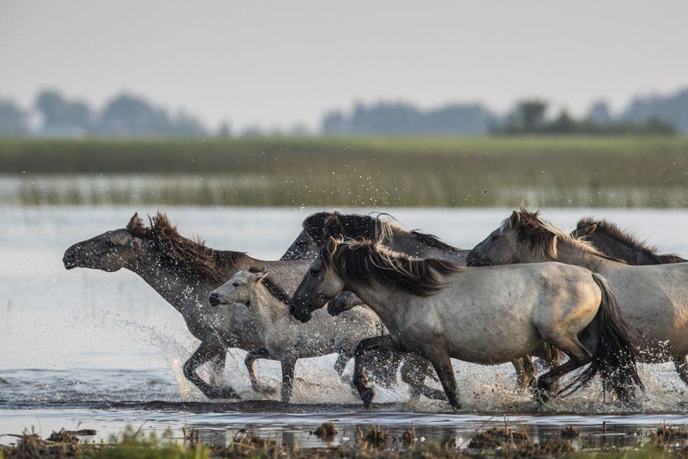 LAKE PAPE, LATVIA -  Rewilded Konik Poski horses running at Lake Pape.