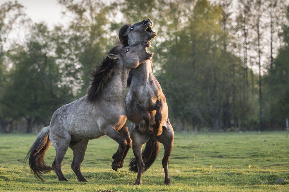 LAKE PAPE, LATVIA - Two Konik Polski stallions fight for domination of the harem, at the Lake Pape rewilding site.